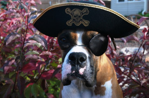 Even with an eye patch, there is no sign of discomfort in this dogs demeanor