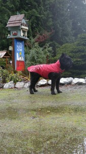 Wil in his doggie raincoat