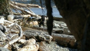 "Wil looks for ""Chief"" among driftwood"
