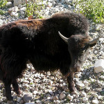 Domestic Yak, Tallinn Zoo -- about the size of our baby Yak--