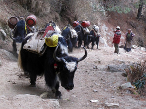 Yak train, Khumbe Valley, Nepal